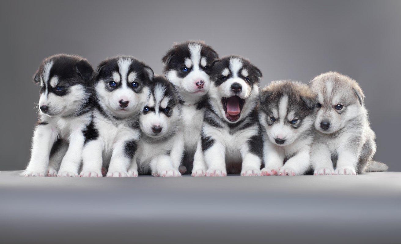 Hotowka - Puppies